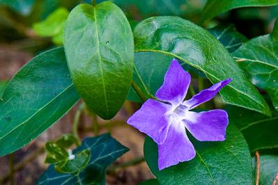 Violetti kukka, jonka taustalla ovat vihreät lehdet